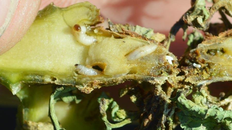 Larval damage on OSR