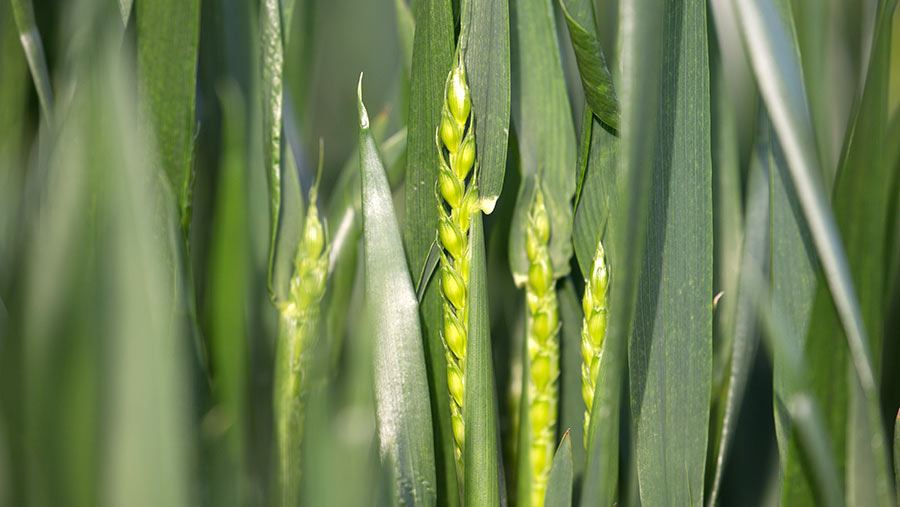 Wheat coming into ear