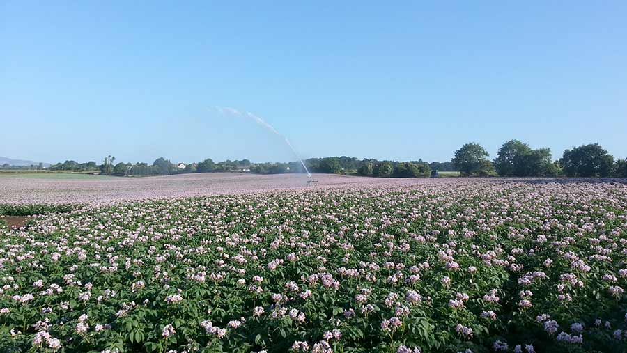 Potatoes being irrigated at Ethiebeaton