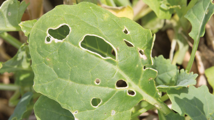 Stem flea beetle damage to oilseed rape plant