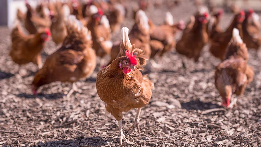 Free-range hens at Sally Farm