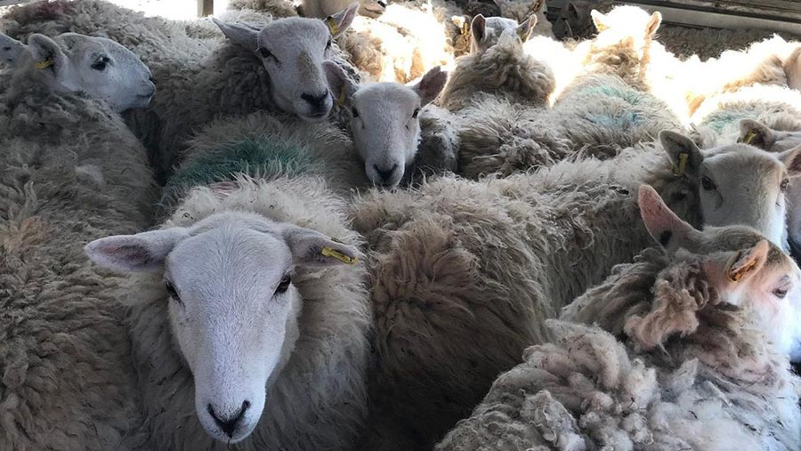 The rescued sheep © RSCA