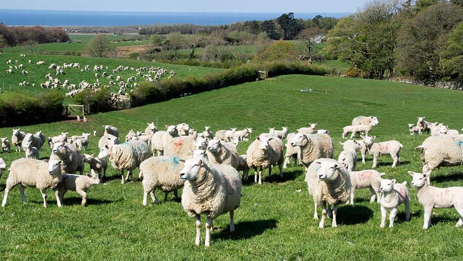Sheep and lambs at grass