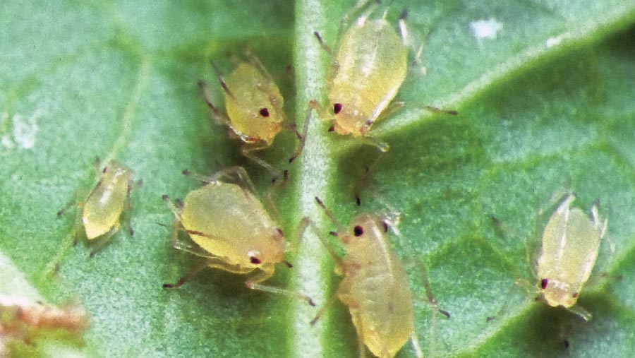 A close-up of peach potato aphids on a leaf