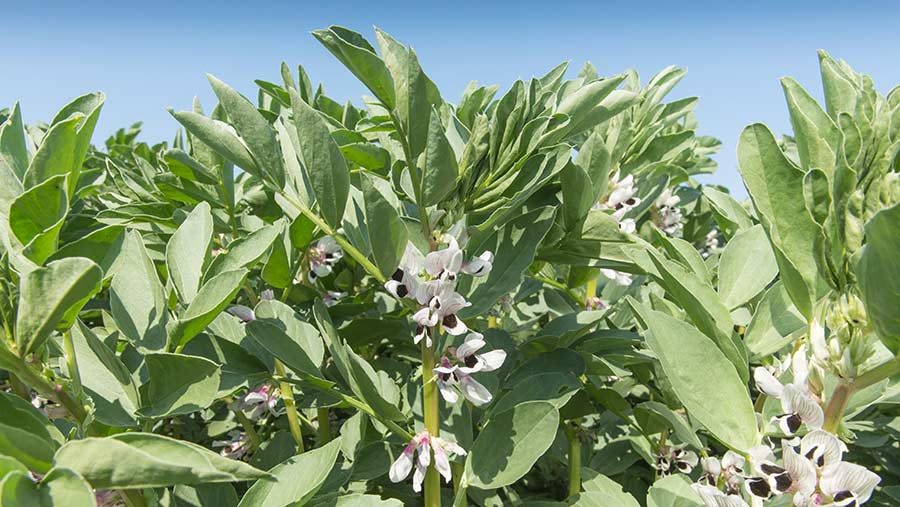 Winter beans flowering