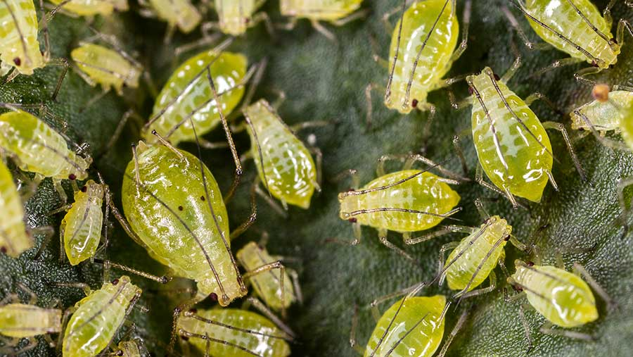 Close-up of aphids