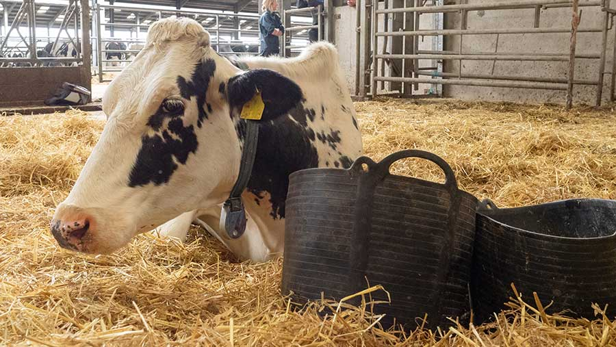 cow and bucket of water, feed