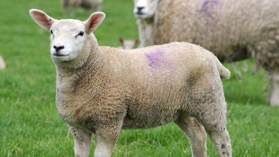 Step By Step Guide To Foot Bathing Sheep Farmers Weekly
