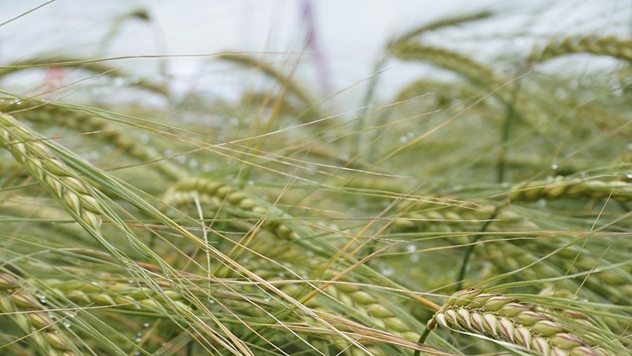 Spring barley Diablo