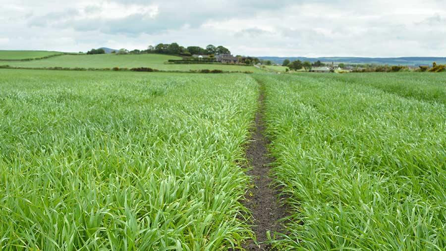 Crop of Laureate spring barley