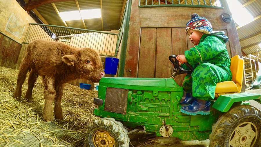 Child on tractor with Highland calf