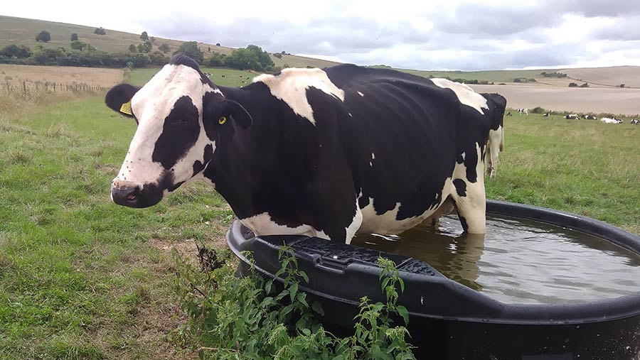 Cow in water trough