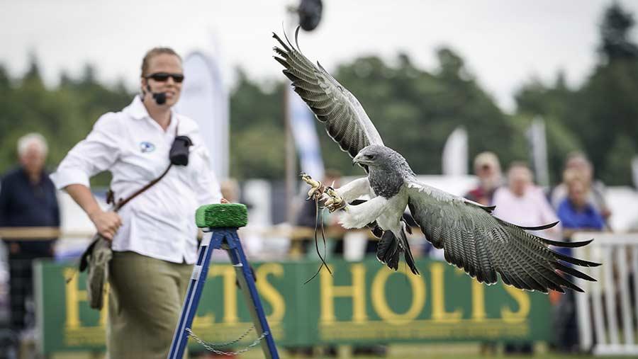 Falcon at Game Fair