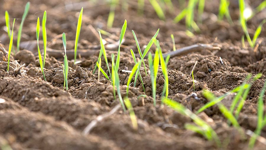 Winter wheat soon after emergence