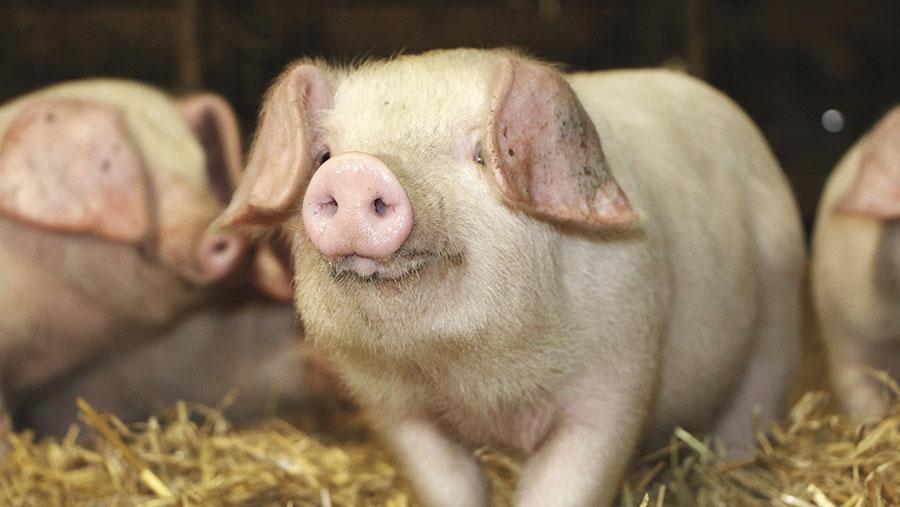 A British Lop piglet