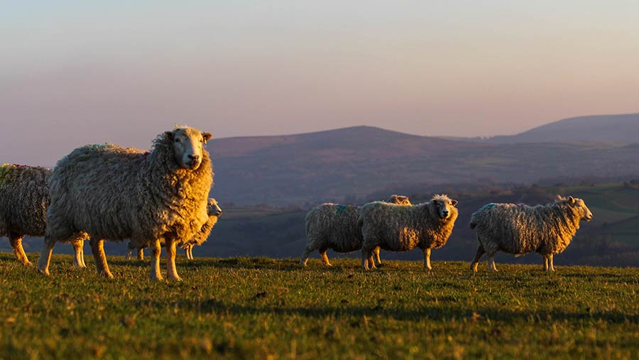 The Dartmoor Shepherd flock