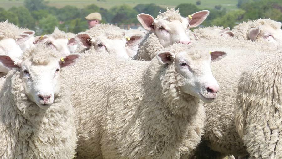 Warborough ewes