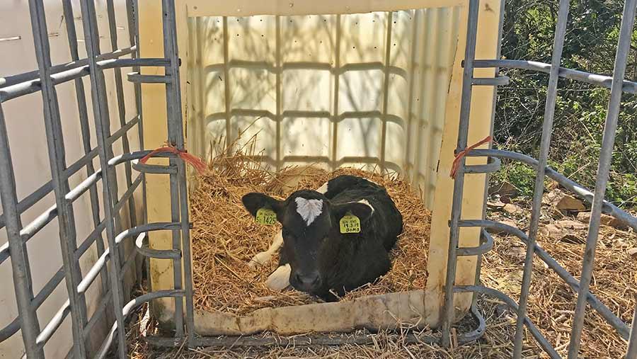 Calf in calf hutch