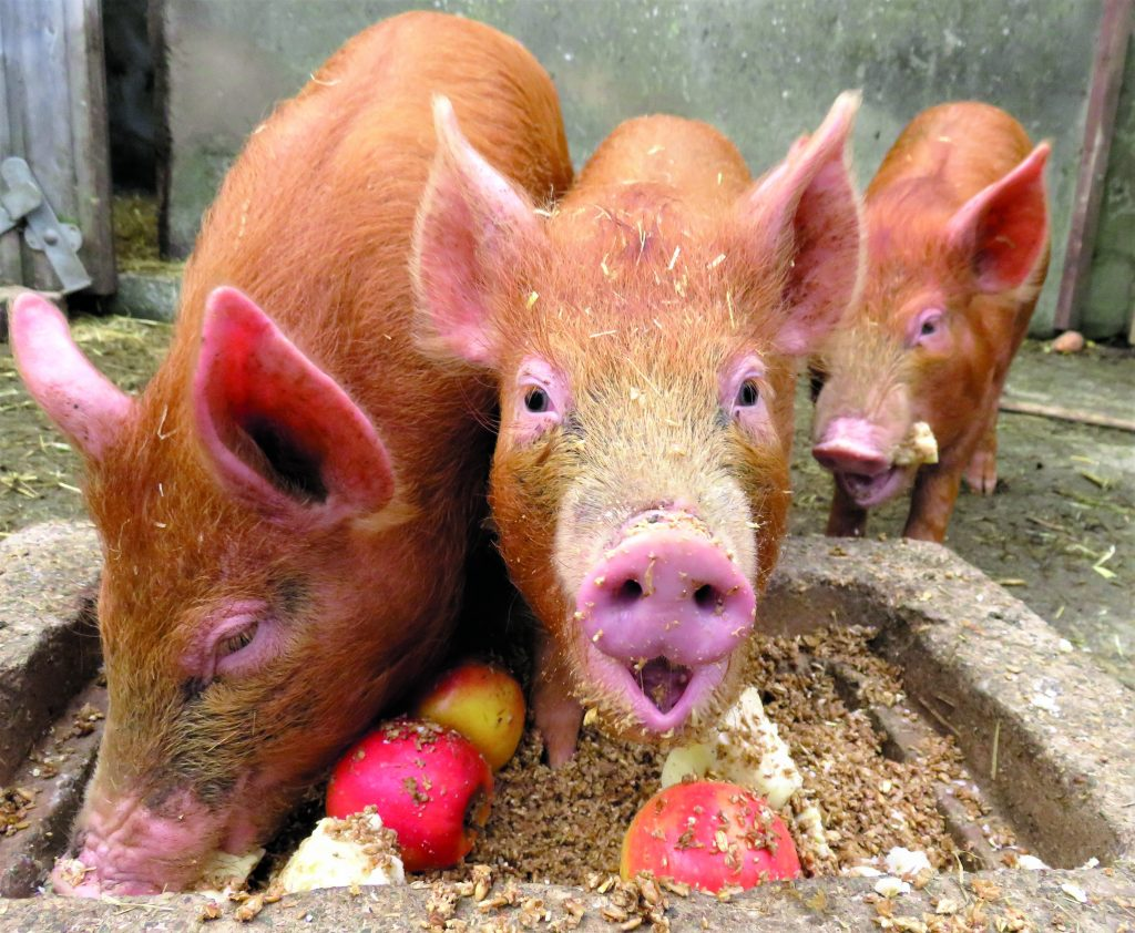 what to feed anpig on a diet