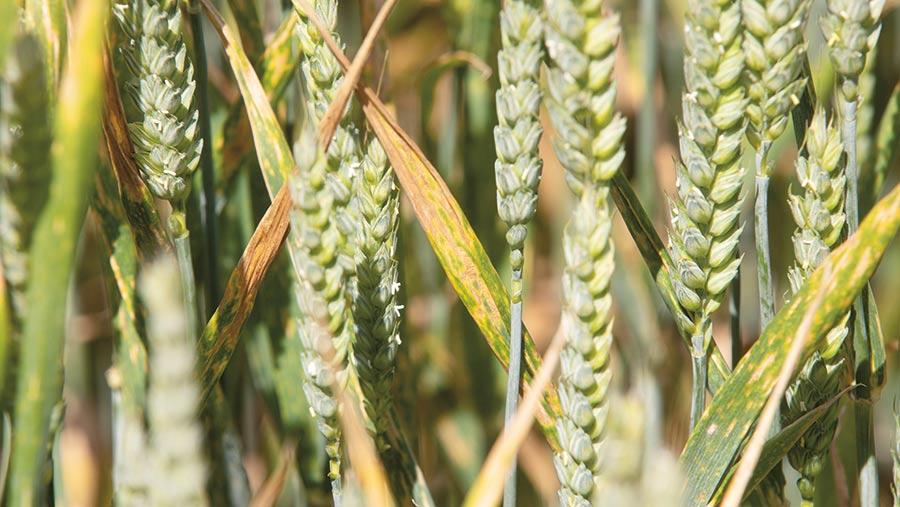 Yellow rust in wheat crop