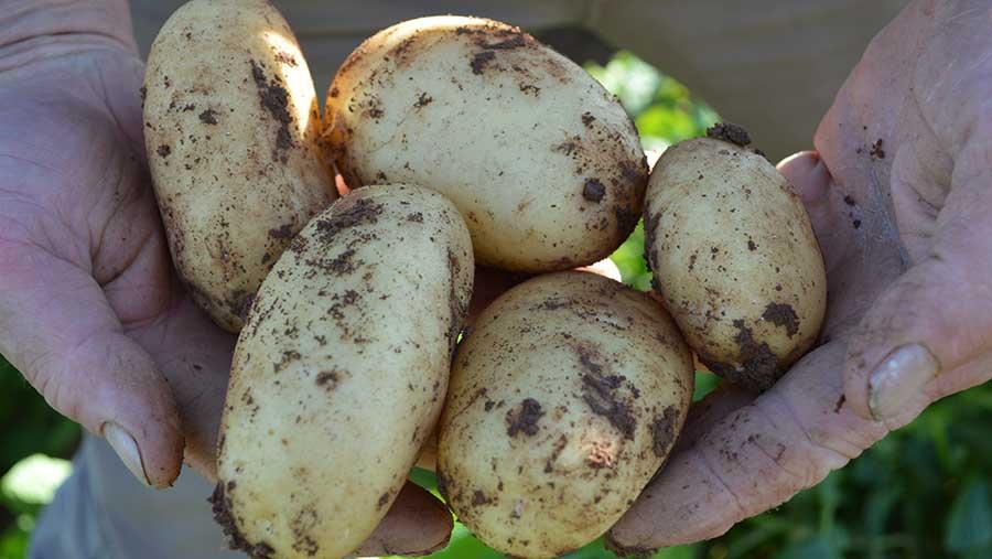Closeup of hands holding potatoes