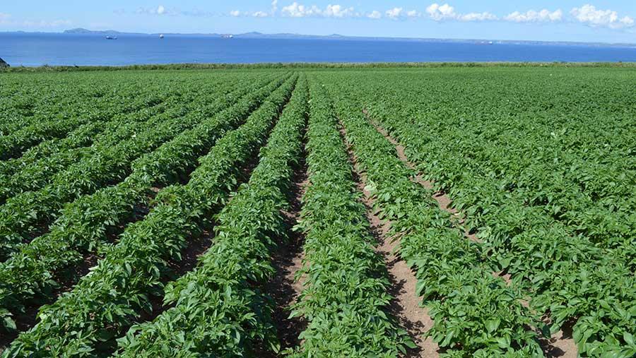 190719 tanaman kentang tumbuh di wales