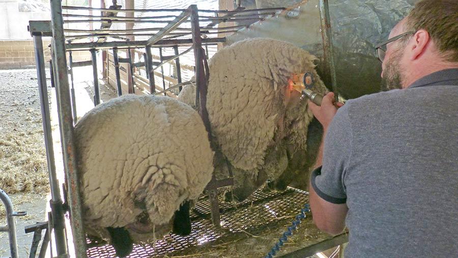 David Barber inseminating a ewe