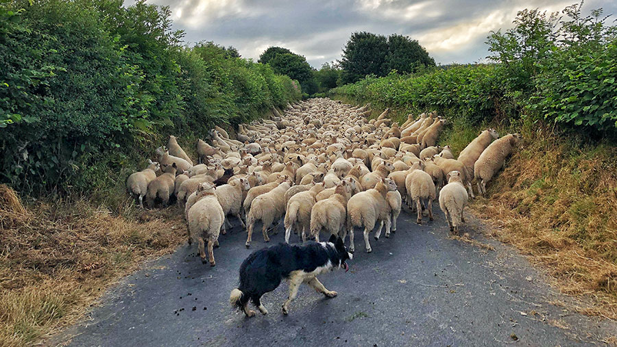 Sheep in road with dogs