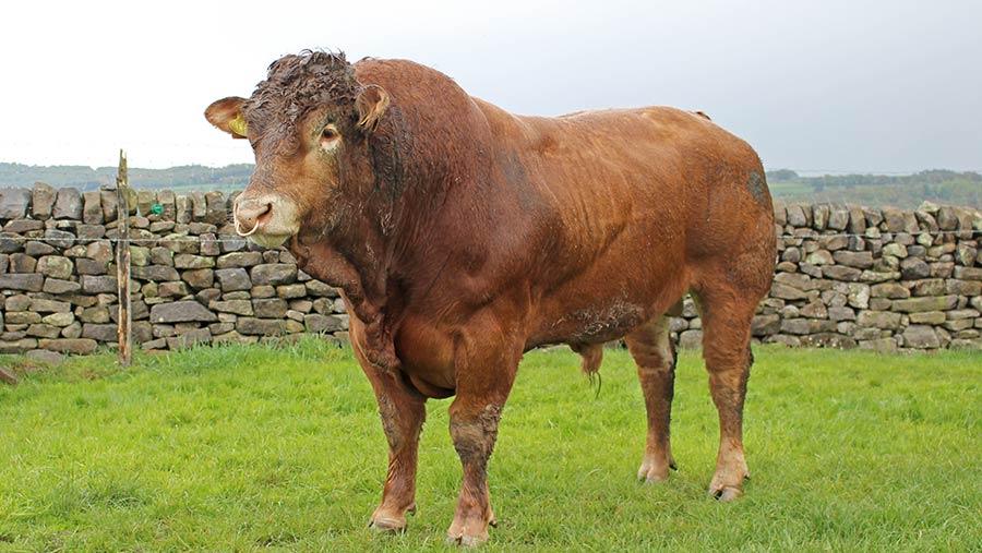 Limousin bull in a field