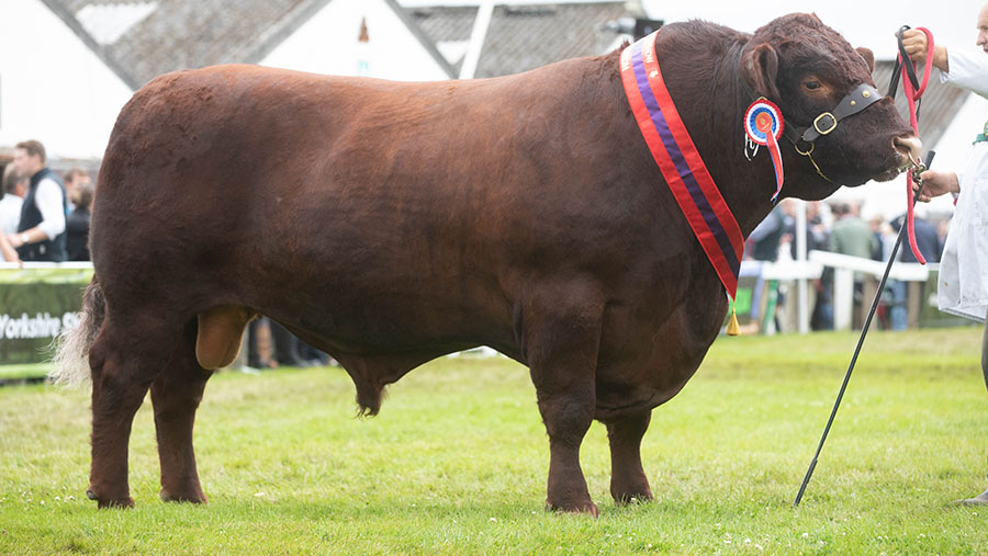 Lincoln Red Breed reserve champion Foulness Ultra
