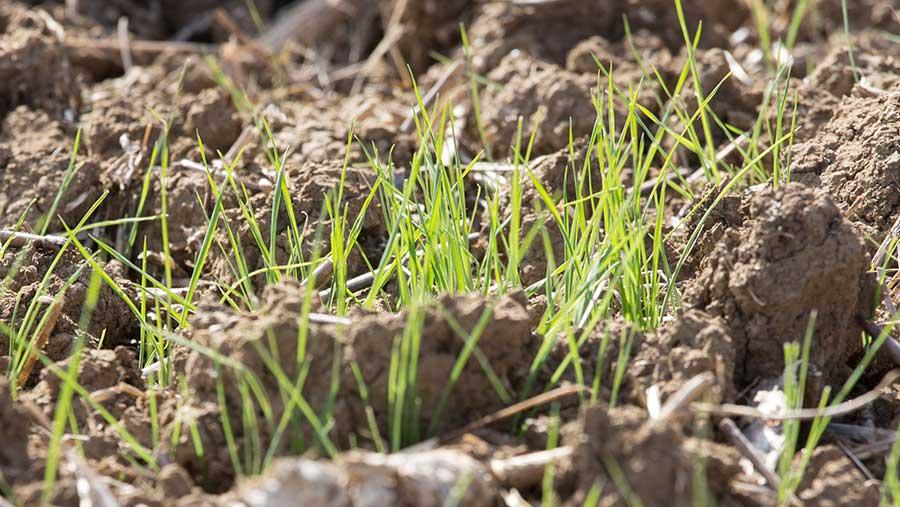 Blackgrass seedlings