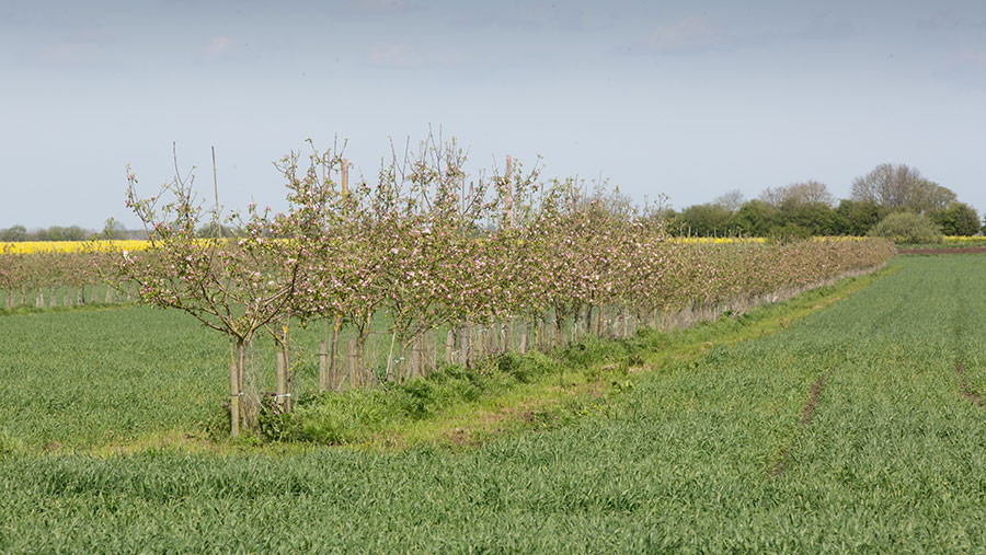 Apple trees planted in arable field