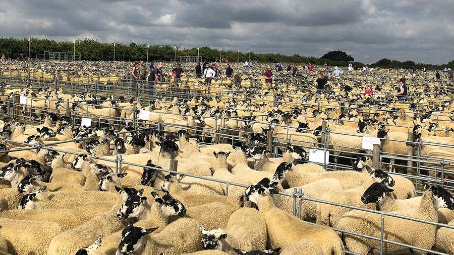North of England Mules at Thame sheep fair