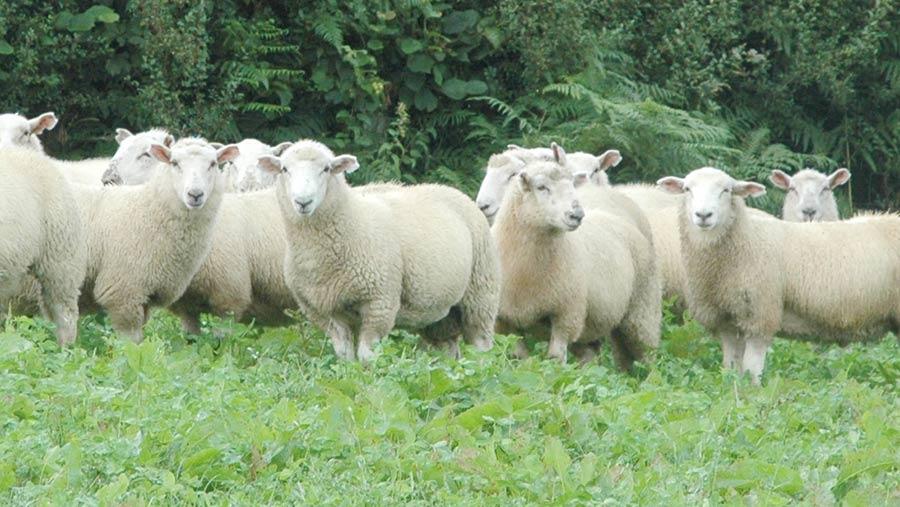Aberfield-cross lambs at Cae-Iago