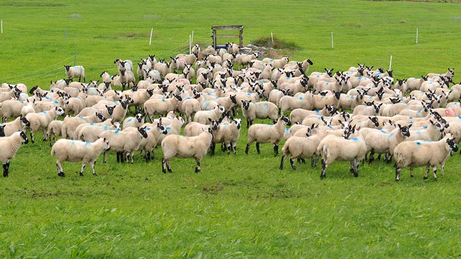 John Yeomans sheep
