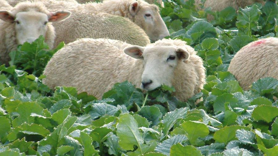 Lambs grazing Swift hybrid brassica