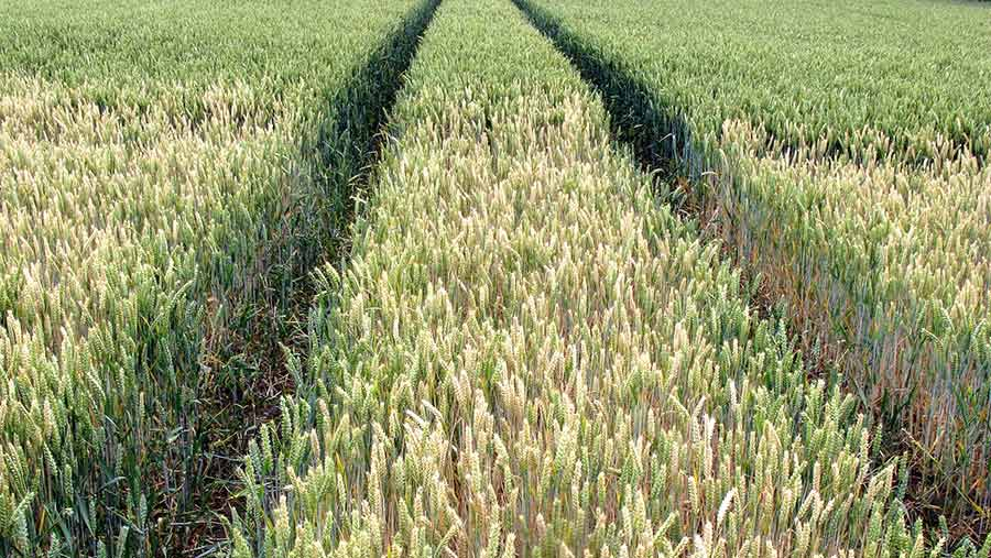 Pale wheat surrounded by green healthy plants