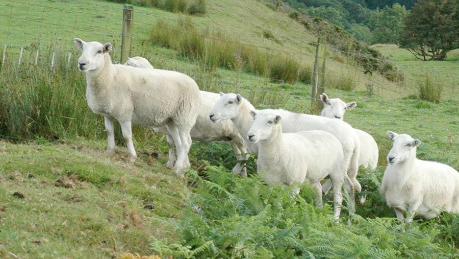 Aberfield-cross Welsh ewes
