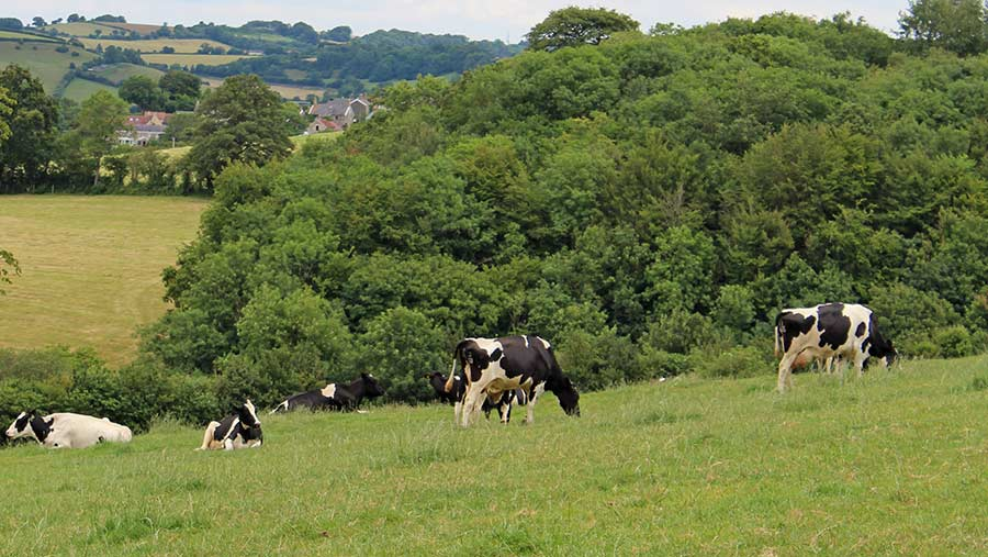 Dairy cows grazing in field