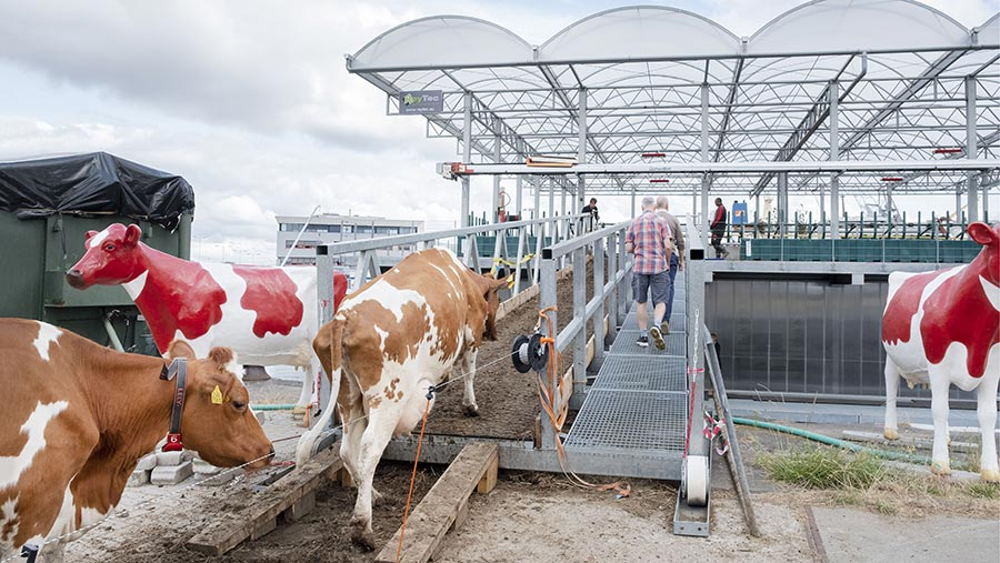 Dairy cows walking on to the floating farm