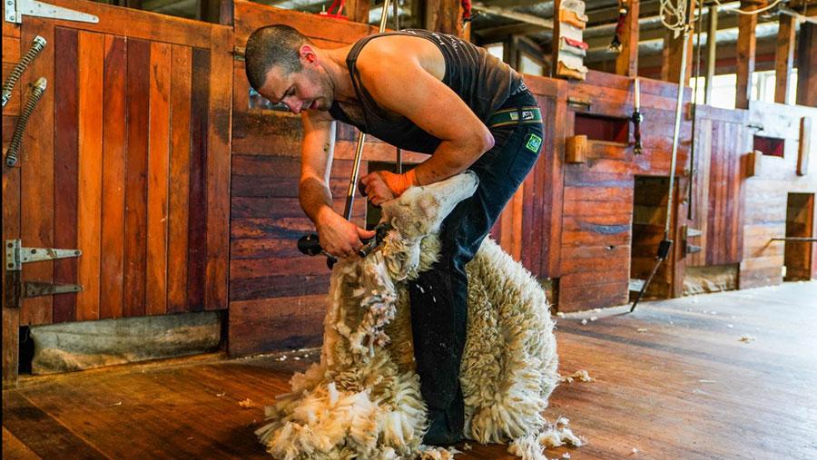 Stuart Connor shearing a sheep