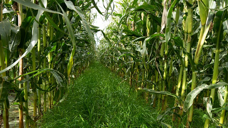 A maize crop undersown with ryegrass