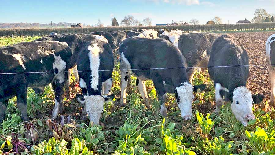 Dairy-beef cows eating forage
