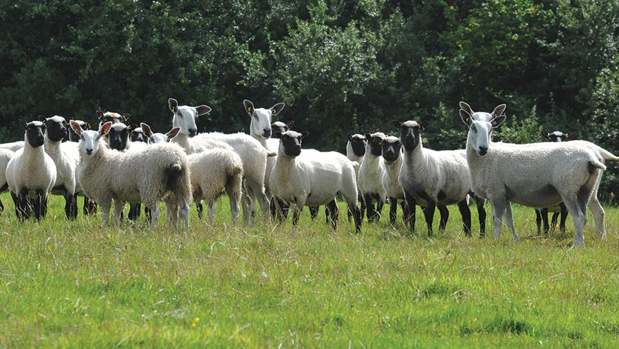 Llanwenogs and Blue Face Leicesters