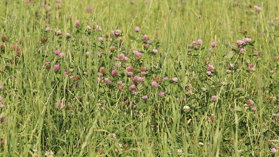 Red clover growing in a pasture