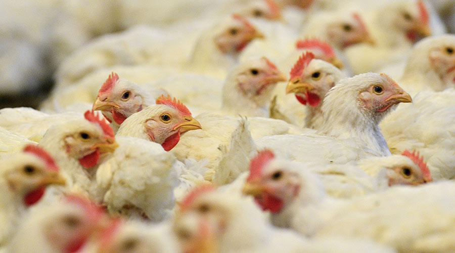 US chickens © Erik S Lesser/EPA/Shutterstock