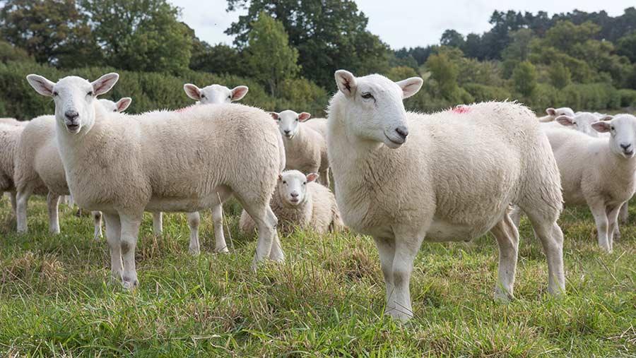 James Edwards' Exlana flock © Hugh Nutt