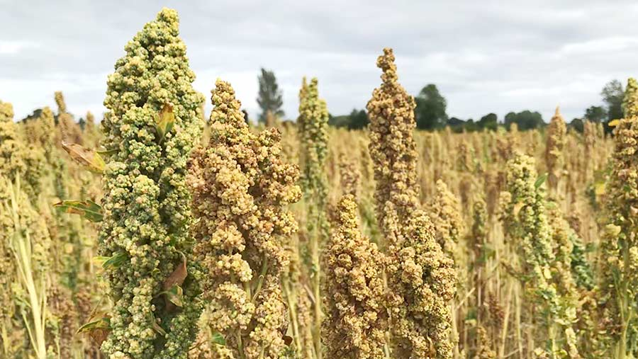 Quinoa on Michael Kavanagh's farm