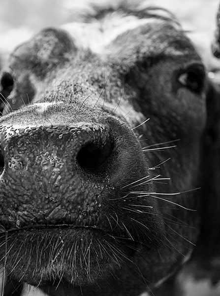 Cow nose in black and white by Peter Bond