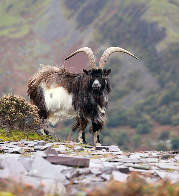 Willy billy goat by Jenny Simpson